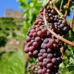 Merlot Wijn – Ontdek alles Wat Je Moet Weten Over Deze Zachte Wijn!