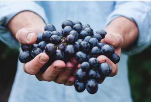 wijn maken de druiven