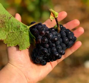 wijn maken druiven sorteren