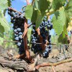 Fendant Wijn?  Druifsoort Wordt Verbouwd In Zwitseland