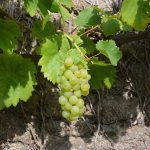 Welke wijn bij Goulash?